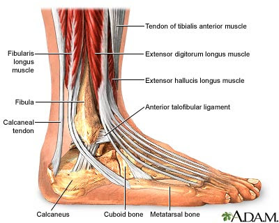 Ligaments In Ankle