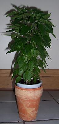 naga jolokia chili pflanze