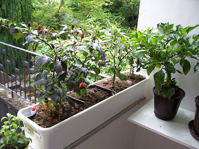 chili farmer alle pflanzen auf dem balkon. Black Bedroom Furniture Sets. Home Design Ideas