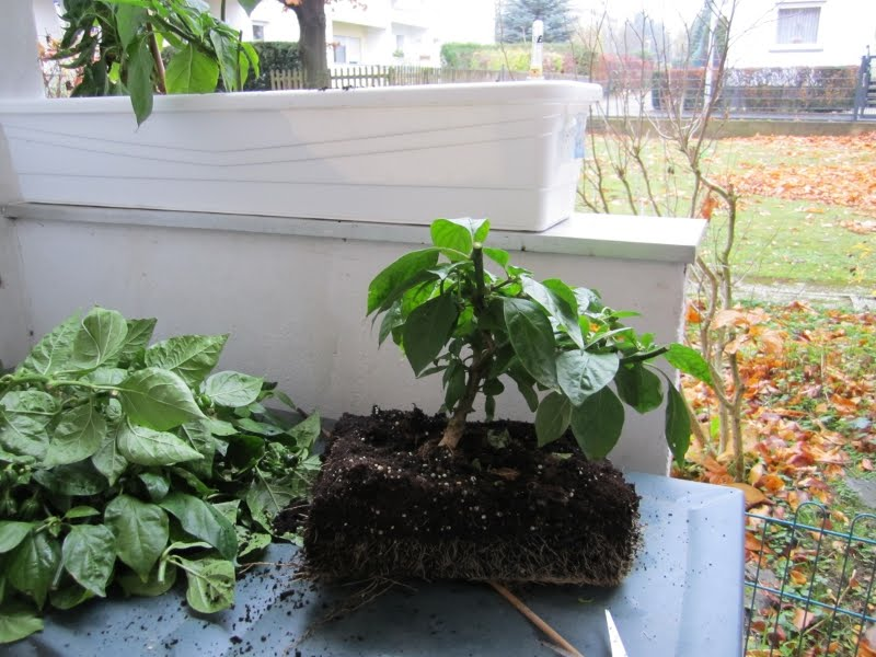chili farmer habanero chili bonsai. Black Bedroom Furniture Sets. Home Design Ideas