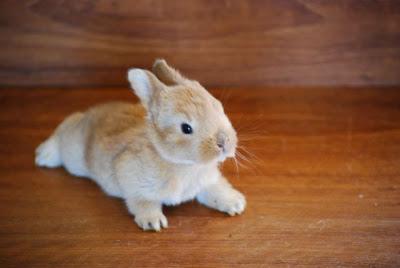 Декоративный кролик рыжий. Коричневый декоративный кролик фото. Забавные животные. Домашние питомцы кролик.