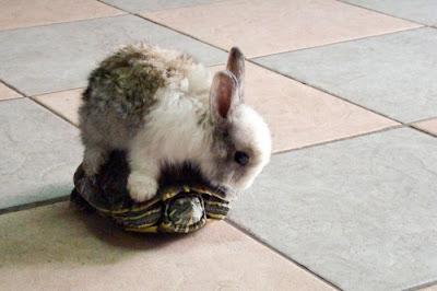 Фото прикол кролик верхом на черепахе. Милые животные кролик и черепаха. Красивый маленький кролик и черепаха.