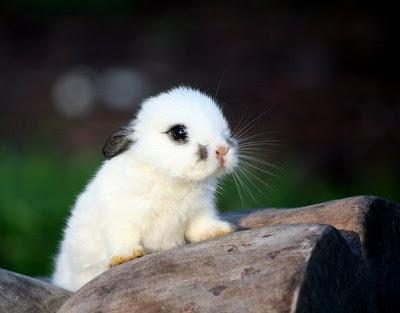 Фото красив декоративный кролик белый. Красивые фото животных. Милые животные маленький белый кролик. Хорошенький крольчонок картинка. Беленький крольчонок с черными ушками. Белый декоративный кролик с черными ушами.