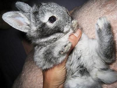 Кролики декоративные серые картинка. Милые животные серые кролики. Новогодний кролик. Кролик декоративный в руках.