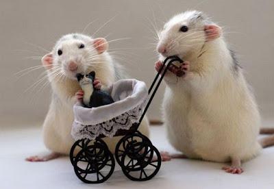 Милые животные мышки с игрушкой. Фото креатив. Два мышонка с игрушечной коляской выгуливают игрушечную кошку.