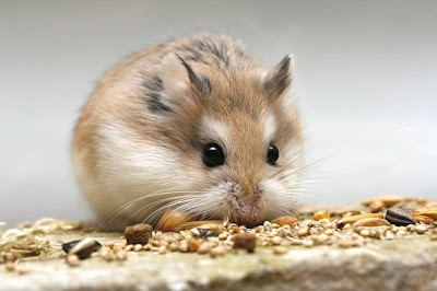 Милые картинки животных. Мышонок с глазами как черные пуговки. Животные милые изображение. Красивое фото мышонка скачать бесплатно. Милые животные фото. Красивая картинка животного - глупый мышонок. Маленький мышонок картинка. Умный мышонок красивое фото.