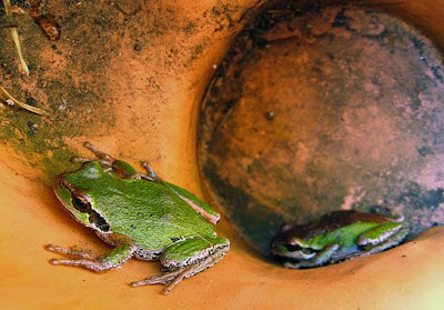 Pacific Tree Frogs make a home in upturned terracotta pot