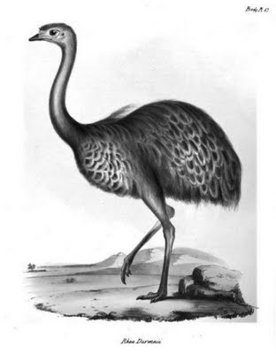 rhea darwinii or Patagonian andu