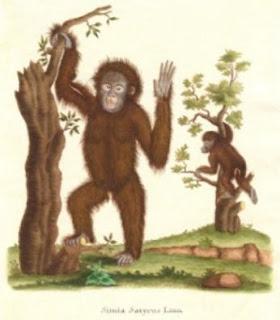 orangutan - Chelep