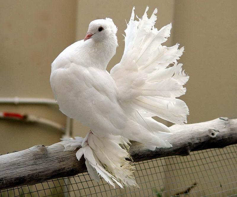 You2Bwill2Bnever2Bfind2BROyal2BPigeons2Bas2BBeautiful2Bas2Bthis - Royal Pigeons : Beautiful