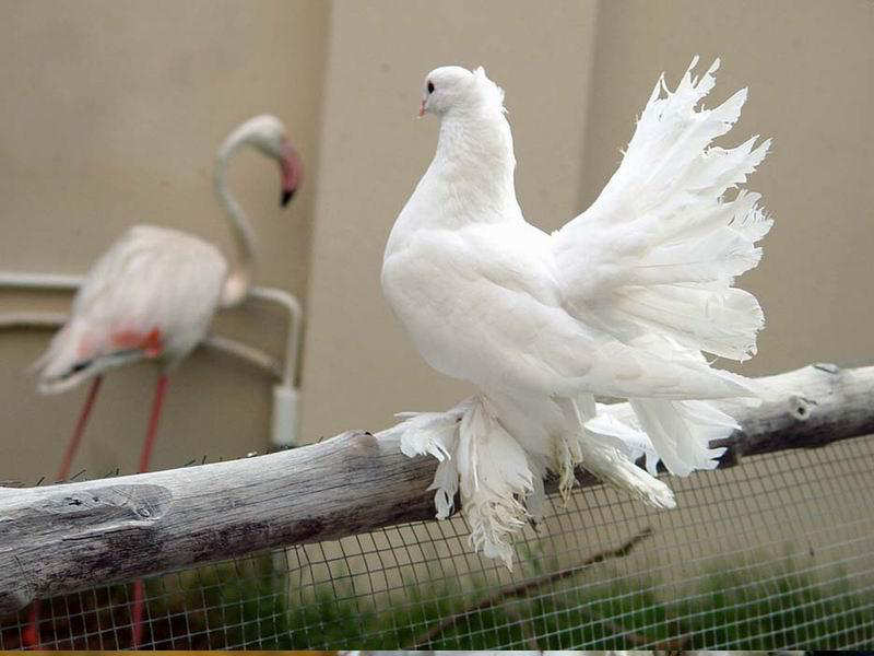 You2Bwill2Bnever2Bfind2BROyal2BPigeons2Bas2BBeautiful2Bas2Bthis2B 10  - Royal Pigeons : Beautiful