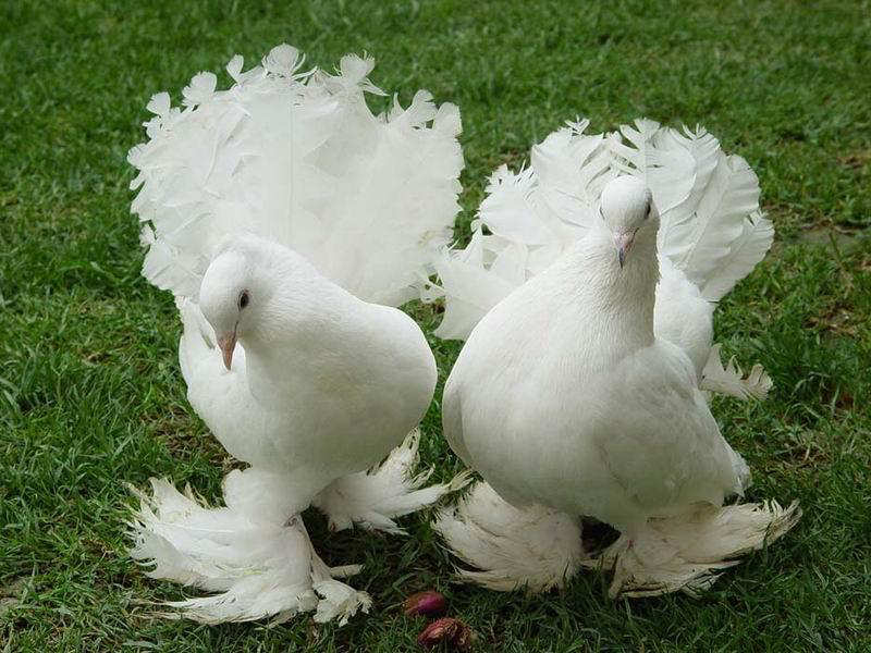 You2Bwill2Bnever2Bfind2BROyal2BPigeons2Bas2BBeautiful2Bas2Bthis2B 4  - Royal Pigeons : Beautiful