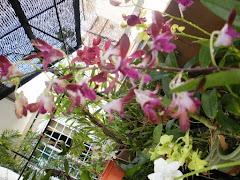 Orkid Hebrid RM 15