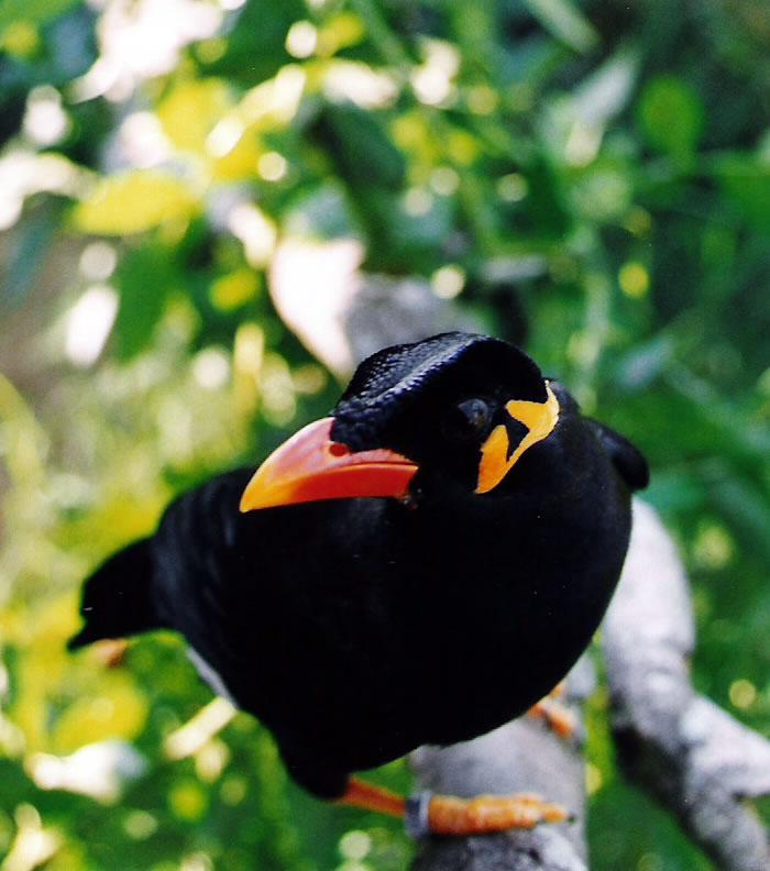 madangopal: Śārikā - Gracula religiosa, turdus or Mynah bird? - photo#17