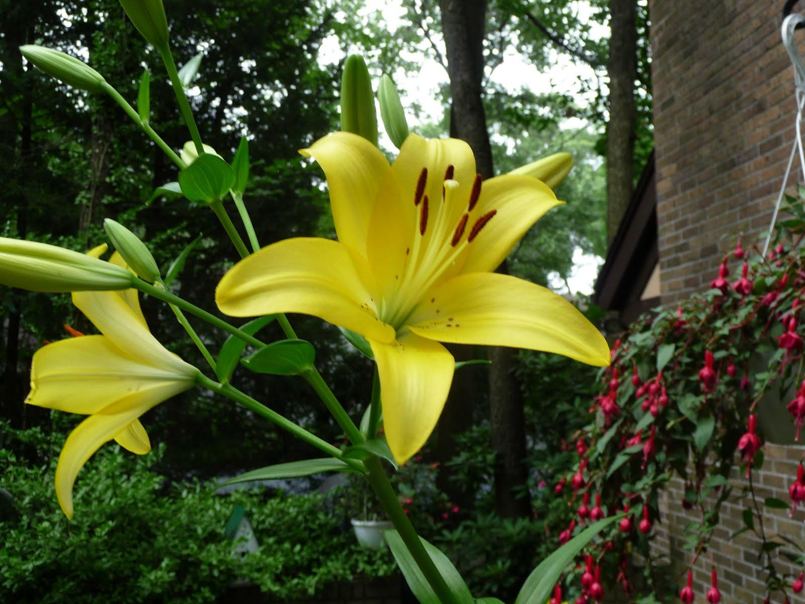 Yellow Tiger LilyYellow Tiger Lily Flower