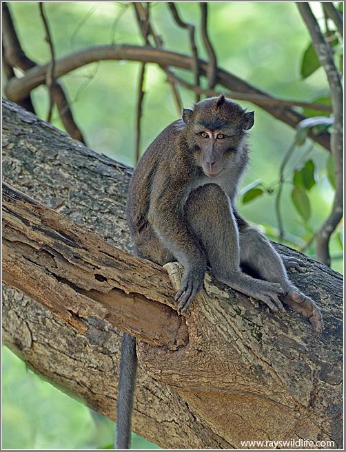 singes aux philippines
