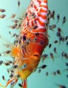 Peces de acuario for Cria de peces ornamentales