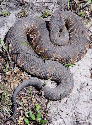 Snakes With Triangle Shaped Heads http://www.livingalongsidewildlife.com/2009/04/case-of-mistaken-identity-part-i.html