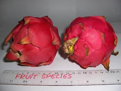 Fruit Species Dragon Fruit Red Flesh