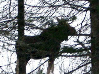 Moose - Rangeley Maine