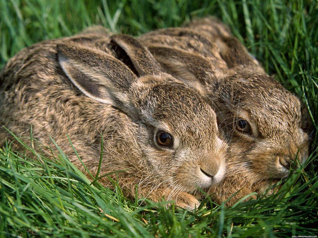 hares1 - Animal wallpaperz