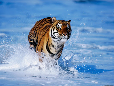 tigers wallpapers. Bangal tigers wallpapers