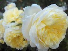 Mary Rose  Poulsen roser