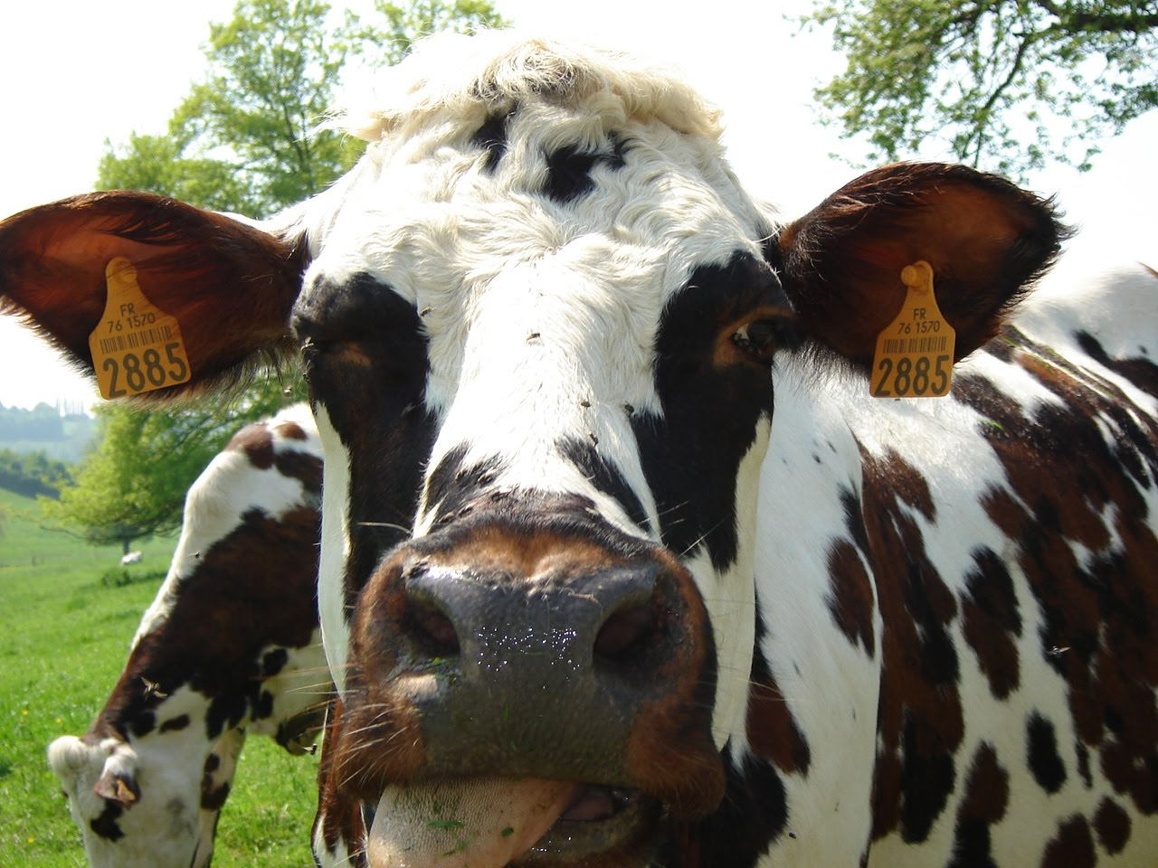 blog cgea du lyc e agricole du pays de bray s ance de pr selection des vaches pour le troph e. Black Bedroom Furniture Sets. Home Design Ideas