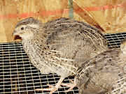 3 week old quail