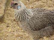 Mixed hen