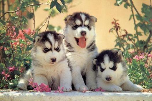 siberian husky puppies in snow. Huskies Puppies In Snow.