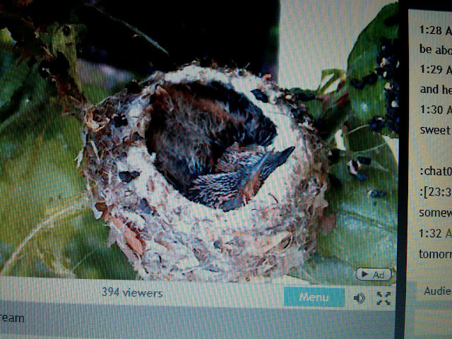 through rose colored glasses live hummingbird nest cam