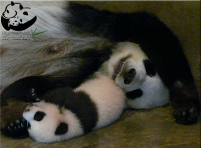 Панда Лин Пин с мамой пандой, Тайланд, Чианг-Май, малыш панды из Таиланда