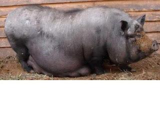 Вьетнамская травоядная порода свиней