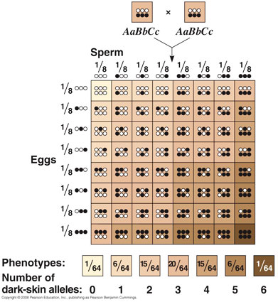 Biology Snippets What Type Of Traits Are Polygenic