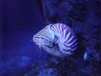 Un nautilus del acuario de Toba