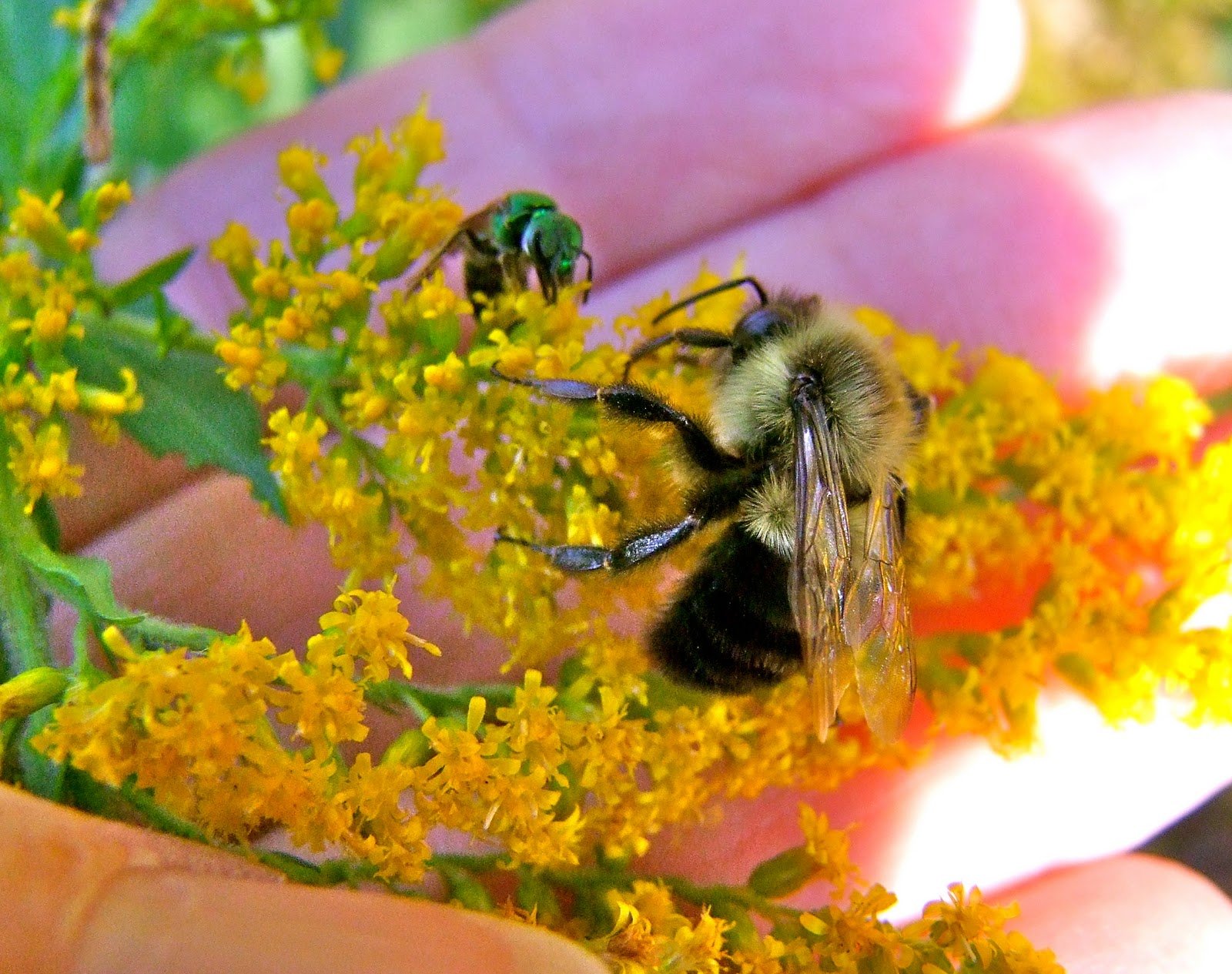 Pollen bees/native bees are