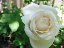 First White Rose of Summer