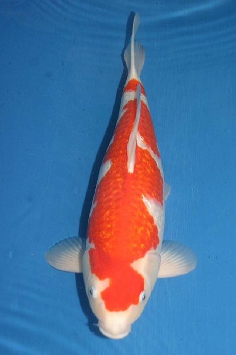 Best koi 46th all japan zna koi show for Koi breeders near me