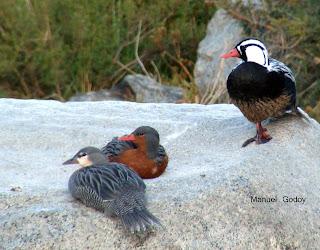 veterinaria  animal  Mendoza Aves acuticas de Mendoza