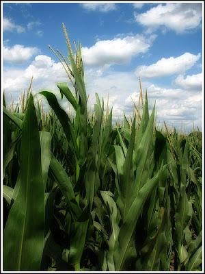 Idaho Farm BureauR News Corn Crop