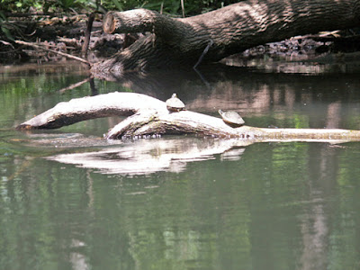 turtles and alligators