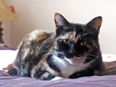 calico cat