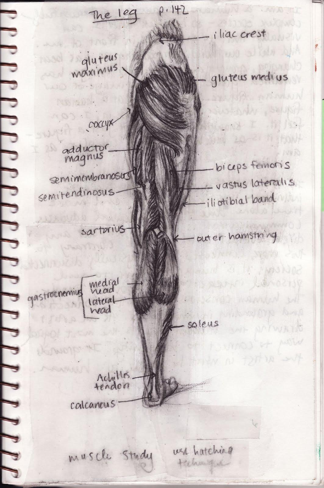 Sailing The Sacred Sea Anatomy Of Human Leg