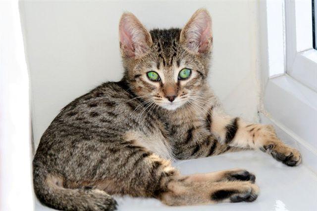 Cats Types Domestic Wild Cat Breeds