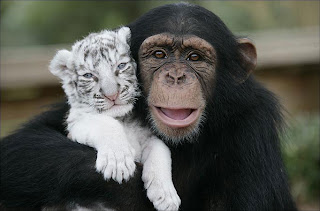 Baby Tigers and a Chimpanzee