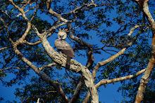 Aguila Arpia Canda