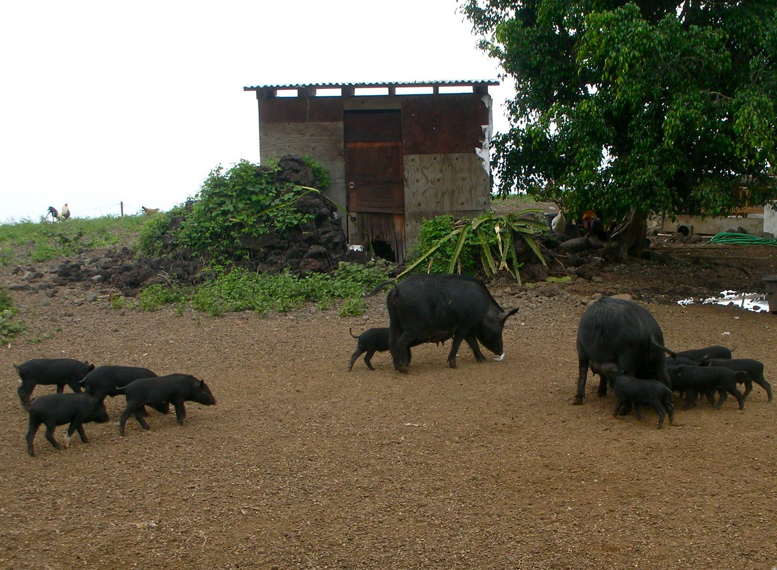 ... and piglets I had the pleasure of spotting while on vacation in Hawaii!