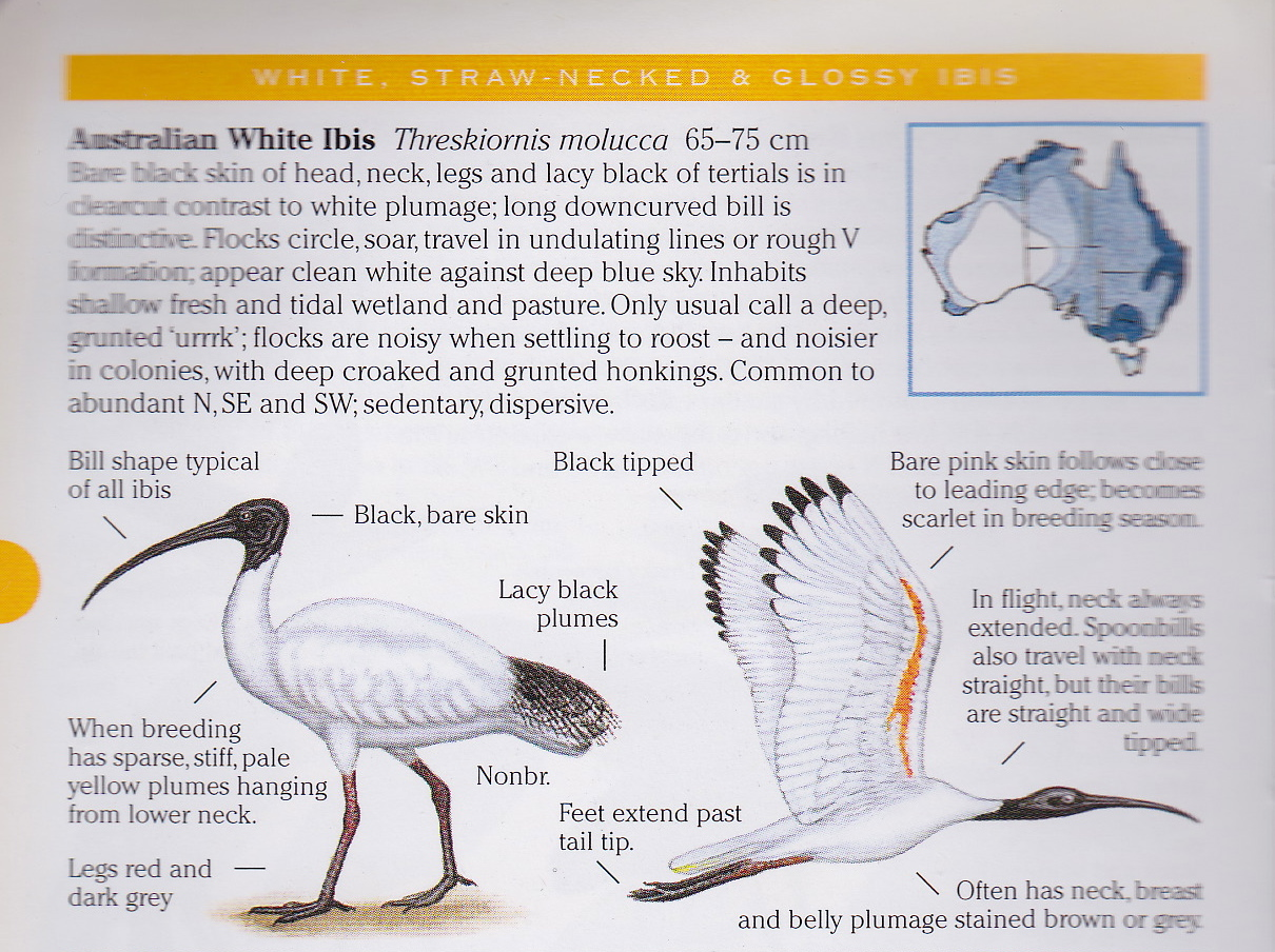 michael morcombe field guide to australian birds