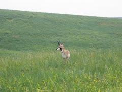 Majestic Antelope
